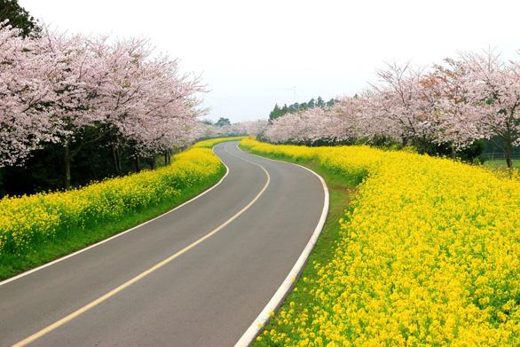 Những nơi ngắm hoa anh đào tuyệt đẹp - Ảnh 5.