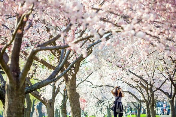 Những nơi ngắm hoa anh đào tuyệt đẹp - Ảnh 7.