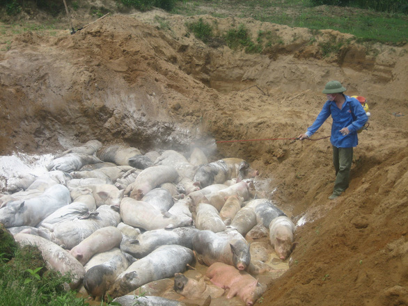 Dịch tả lợn châu Phi lan tới Thanh Hóa, tiêu hủy 226 con lợn bệnh - Ảnh 1.
