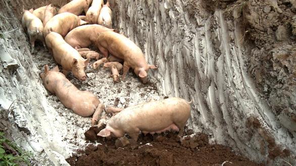 Phát hiện lợn rừng mắc dịch tả lợn châu Phi - Ảnh 1.