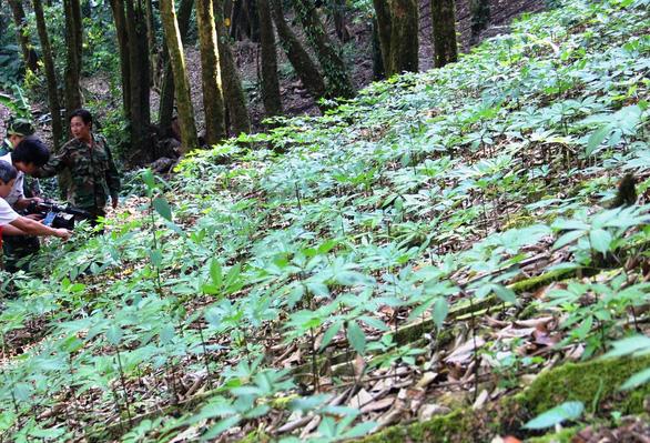Vườn sâm Ngọc Linh được công nhận là điểm du lịch - Ảnh 1.