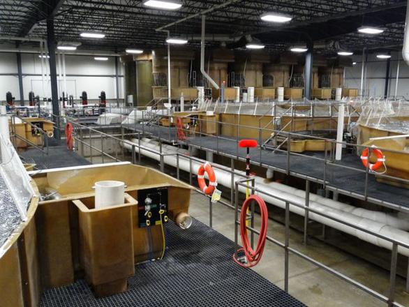 Mỹ cho phép bán cá hồi quái thai, nông dân tái mặt - Ảnh 2.