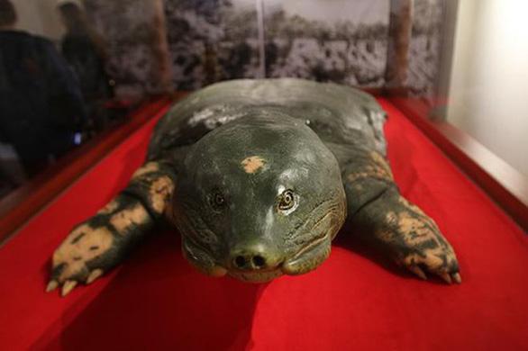 Tiêu bản giống như thật của cụ rùa Hồ Gươm - Ảnh 3.