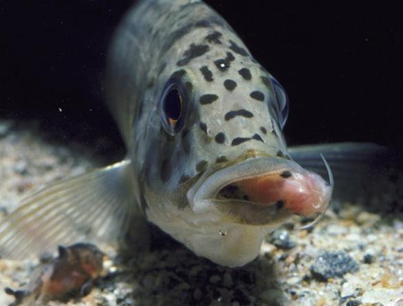 Loài cá duy nhất không nuôi con mà... rình bỏ vô nhà hàng xóm - Ảnh 3.