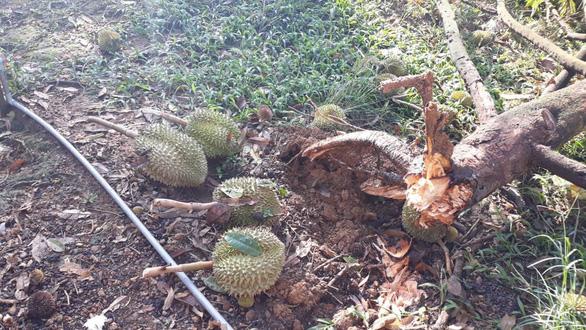 Vùng sầu riêng Lâm Đồng tan hoang sau lốc xoáy - Ảnh 3.