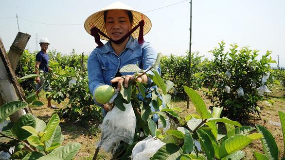 Người lập trang trại cây trái thênh thang giữa ruộng đồng trũng thấp  - Ảnh 1.