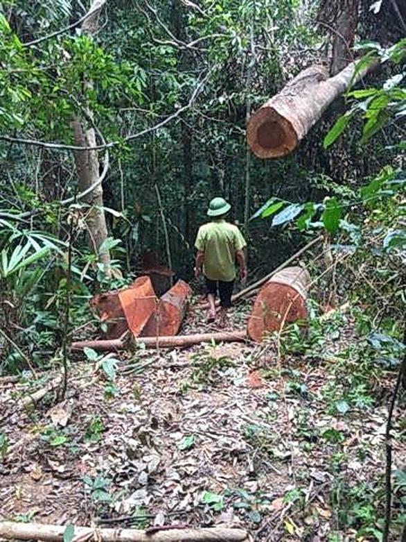 Lại xảy ra phá rừng quy mô lớn ở Quảng Bình - Ảnh 4.