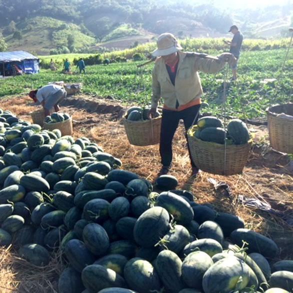 Dân trồng dưa hấu tố bị đe dọa đòi tiền bảo kê - Ảnh 2.