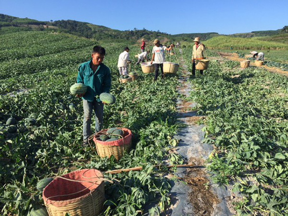 Dân trồng dưa hấu tố bị đe dọa đòi tiền bảo kê - Ảnh 1.