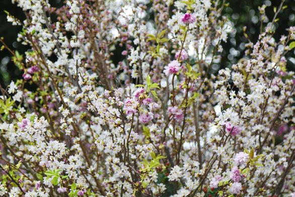 20.000 cành hoa anh đào khoe sắc tại vườn hoa Lý Thái Tổ - Ảnh 1.