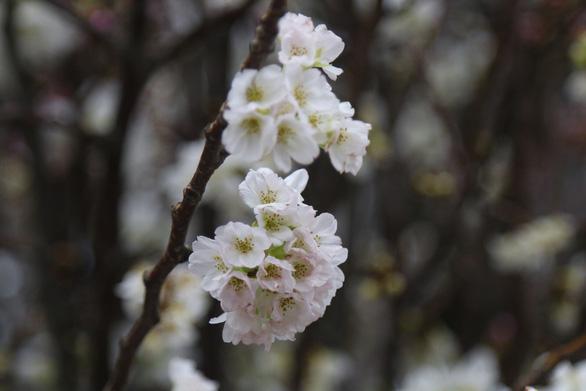 20.000 cành hoa anh đào khoe sắc tại vườn hoa Lý Thái Tổ - Ảnh 9.