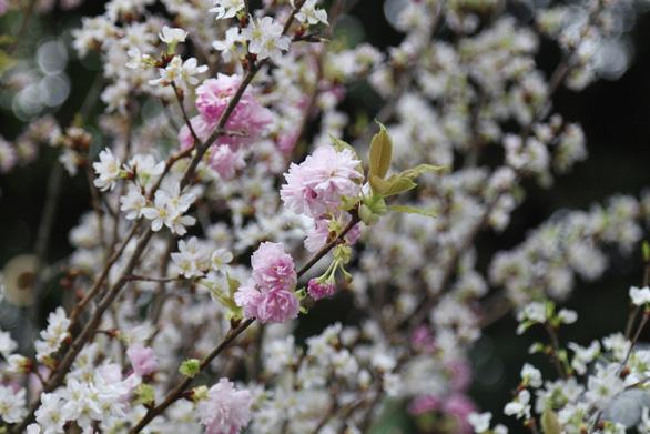 20.000 cành hoa anh đào khoe sắc tại vườn hoa Lý Thái Tổ - Ảnh 8.