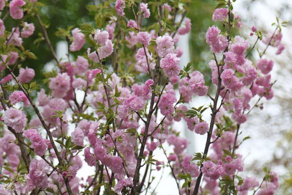 20.000 cành hoa anh đào khoe sắc tại vườn hoa Lý Thái Tổ - Ảnh 10.
