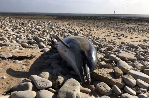 Khủng hoảng sinh thái tại Pháp, 1.100 con cá heo chết chỉ trong 3 tháng - Ảnh 2.