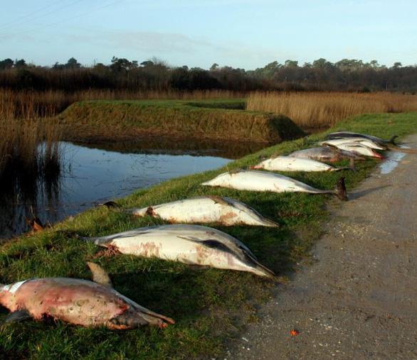 Khủng hoảng sinh thái tại Pháp, 1.100 con cá heo chết chỉ trong 3 tháng - Ảnh 3.