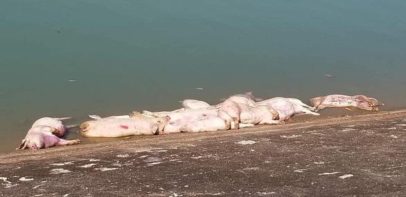 40 con heo chết bị vứt bừa bãi ra môi trường - Ảnh 2.