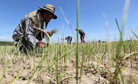 Nông dân Thái phải cầu cứu vì khô hạn - Ảnh 1.