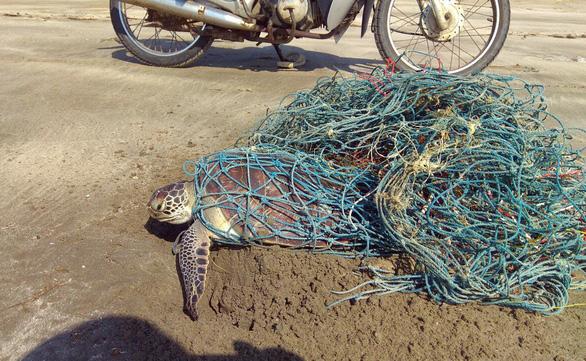 Giải cứu rùa biển nặng 10kg mắc lưới thải - Ảnh 1.