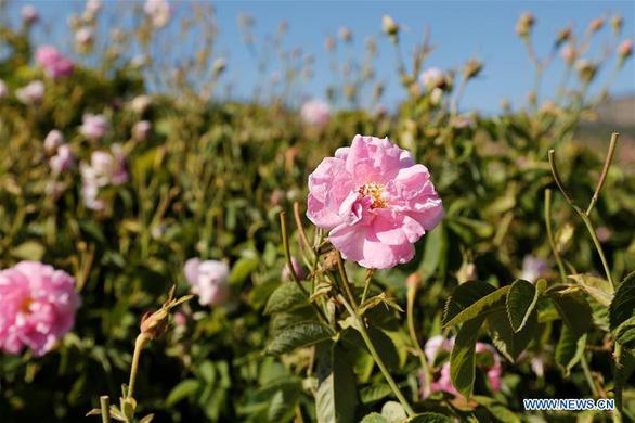Thành phố thơm nức hương hoa hồng miền Địa Trung Hải - Ảnh 4.