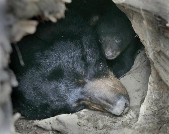 Nỗi khổ của động vật sau khi ngủ đông - Ảnh 1.