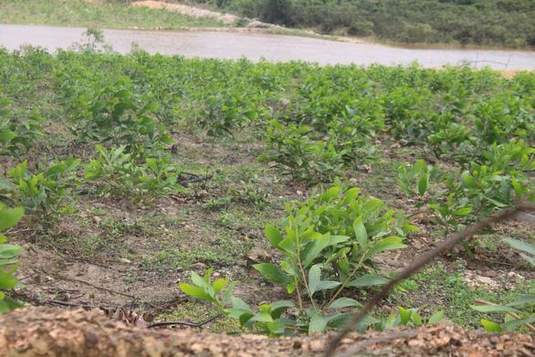 Dân ồ ạt trồng keo trong trại bò liên quan cha con ông Trần Bắc Hà - Ảnh 1.
