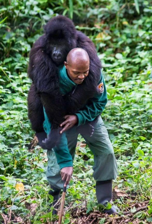 Khỉ đột tạo dáng chụp ảnh selfie cùng kiểm lâm - Ảnh 6.