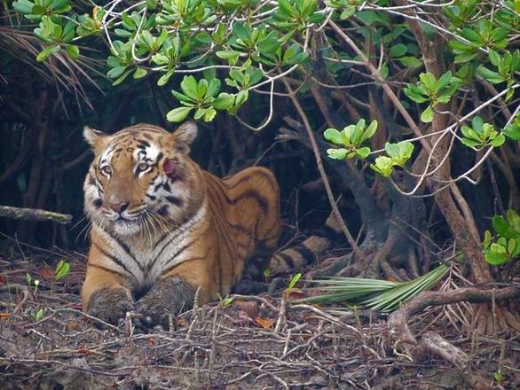 Hổ Bengal có thể tuyệt chủng trong 50 năm tới - Ảnh 1.
