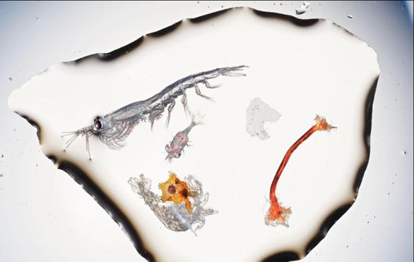 Báo động rác nhựa xuất hiện trong cá con - Ảnh 3.