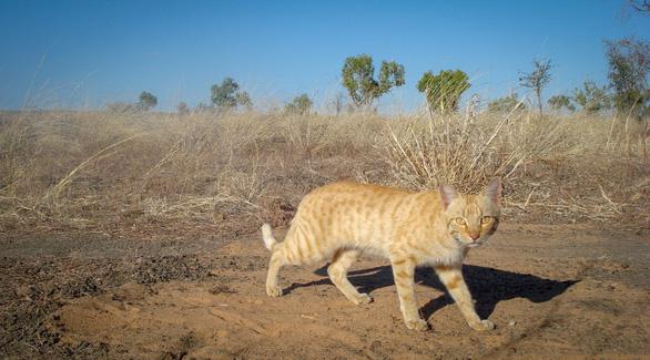 Úc cố diệt binh đoàn mèo hoang 2 triệu con tránh tuyệt chủng cho loài khác - Ảnh 1.