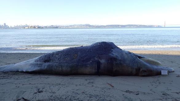 Cá voi gầy ốm xương xẩu chết hàng loạt ở Thái Bình Dương - Ảnh 3.