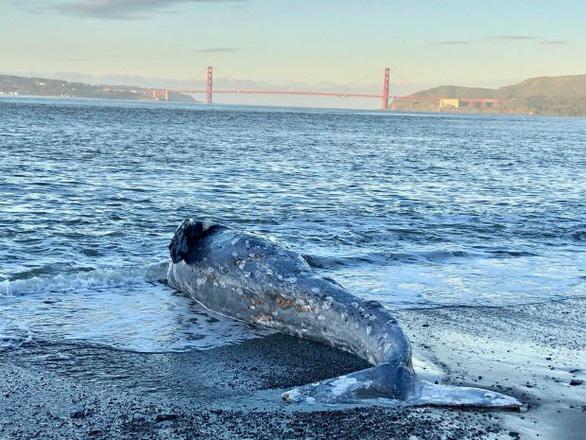 Cá voi gầy ốm xương xẩu chết hàng loạt ở Thái Bình Dương - Ảnh 2.