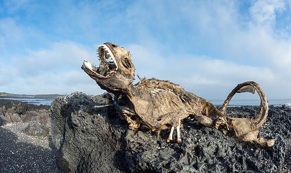 Sốc với hình ảnh cự đà Galapagos chết khô do biến đổi khí hậu - Ảnh 2.