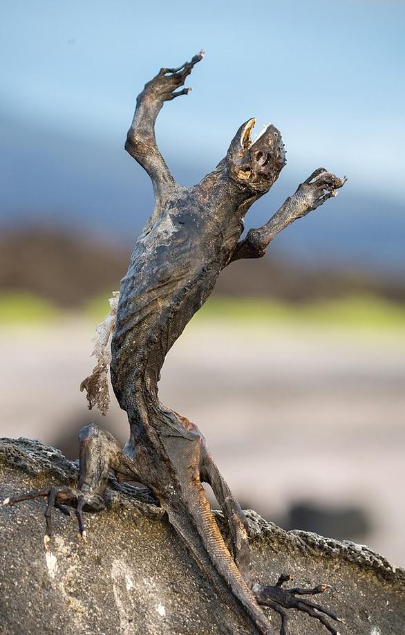 Sốc với hình ảnh cự đà Galapagos chết khô do biến đổi khí hậu - Ảnh 1.