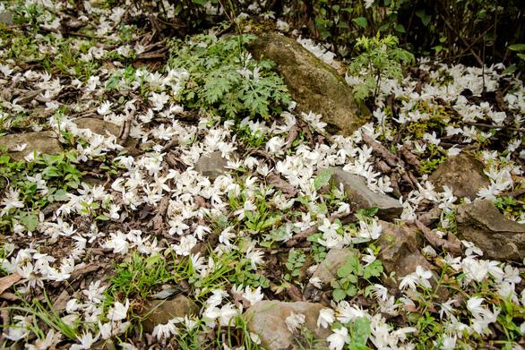 Tà Xùa mùa xuân muôn sắc hoa - Ảnh 10.
