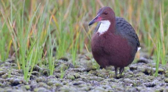 Loài chim cổ đại đã tuyệt chủng bỗng 'sống dậy - Ảnh 3.