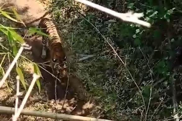 Vợ chồng cô giáo leo trốn trên bụi tre vì bất ngờ gặp hổ - Ảnh 1.