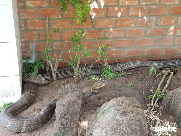 Còn nhiều rắn hổ mây khủng dưới chân Núi Cấm - Ảnh 4.