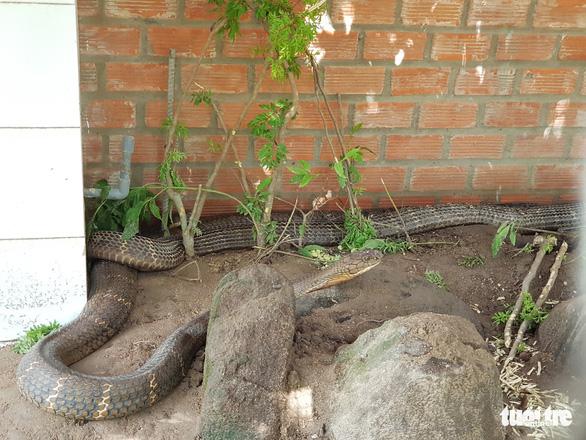 Bắt được cặp rắn hổ mây khủng gần 60kg dưới chân núi Cấm - Ảnh 2.
