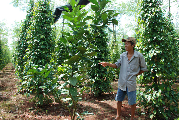 Tiêu rớt giá, nông dân thủ phủ Bình Phước lao đao - Ảnh 2.