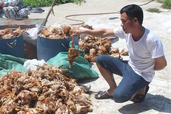 Người dân ném đá trại gà, 1.200 con gà bị chết - Ảnh 1.