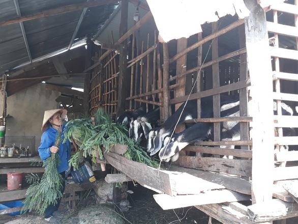 Giá dê tăng cao, thương lái săn lùng, nông dân ém chờ giá - Ảnh 3.