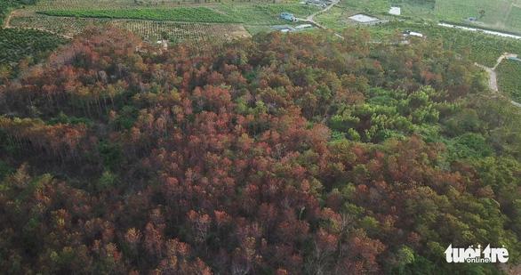 Khởi tố vụ ám sát 3.500 cây thông rừng hơn 20 năm tuổi - Ảnh 1.