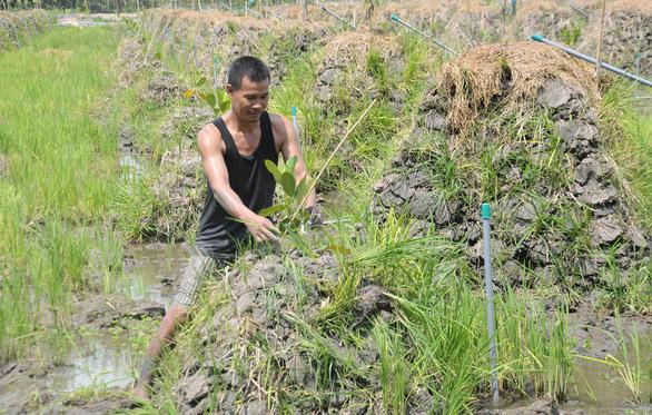 Ồ ạt trồng mít Thái ở đồng bằng sông Cửu Long - Ảnh 1.