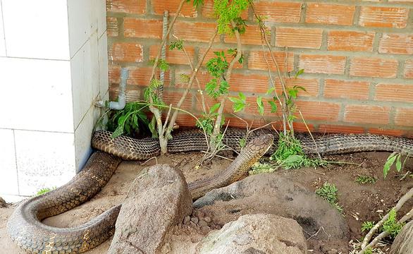 Ứng xử ra sao với cặp rắn khủng quý hiếm ở núi Cấm? - Ảnh 1.