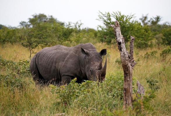 Đủ mọi chiến dịch, vì sao người Việt Nam vẫn mua sừng tê giác? - Ảnh 3.