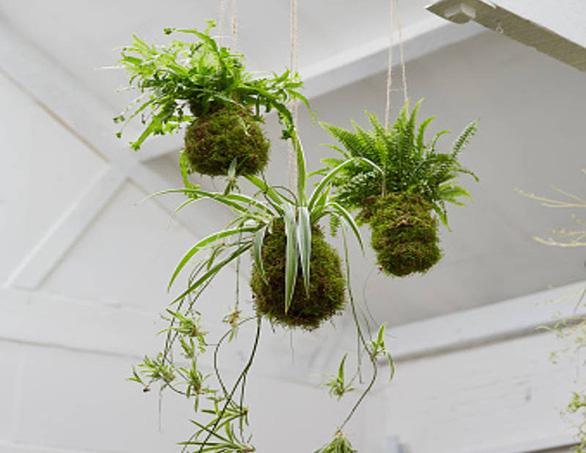 Tô điểm không gian sống với nghệ thuật trồng cây Kokedama của người Nhật - Ảnh 5.