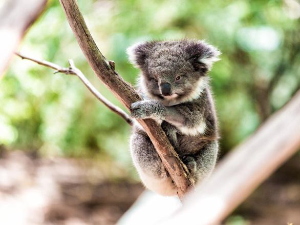 Mất rừng, gấu Koala sát bờ vực tuyệt chủng - Ảnh 1.