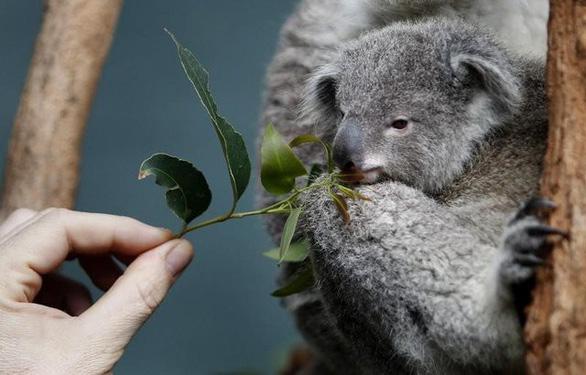 Mất rừng, gấu Koala sát bờ vực tuyệt chủng - Ảnh 3.