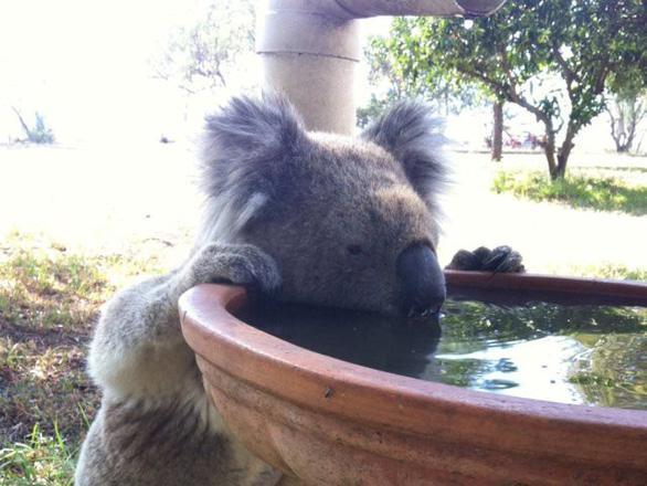 Mất rừng, gấu Koala sát bờ vực tuyệt chủng - Ảnh 2.