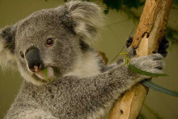 Mất rừng, gấu Koala sát bờ vực tuyệt chủng - Ảnh 4.